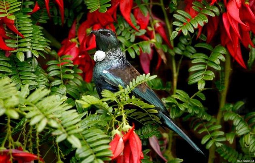 Native Tui - with Kakabeak flowers