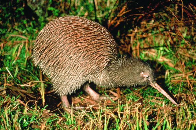 Large Kiwi