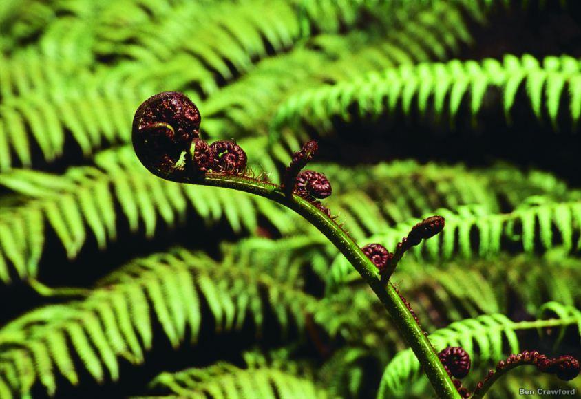Tree Fern - Koru