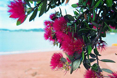 Pohutukawa - Paihia Beach.jpg