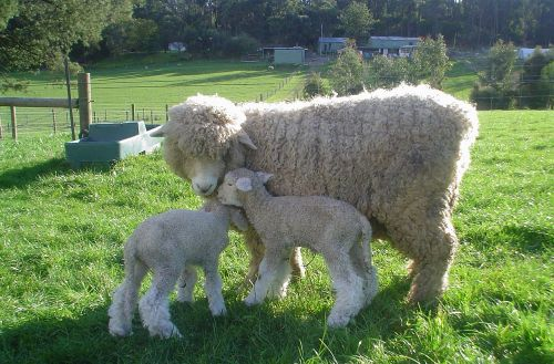Romney-Ewe-and-Lamb