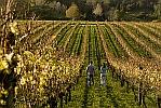 sm-Clevedon-Vineyard