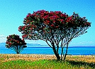 sm-Pohutukawa-Trees